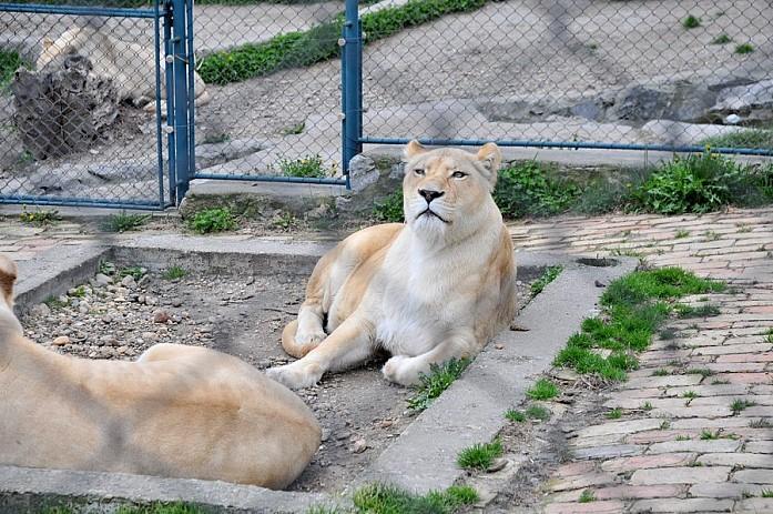 Прайд львов в центре парка