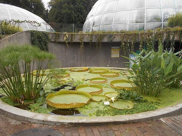 Гигантская Виктория амазонская - никогда не думала, что она может расти на улице в европейском климате