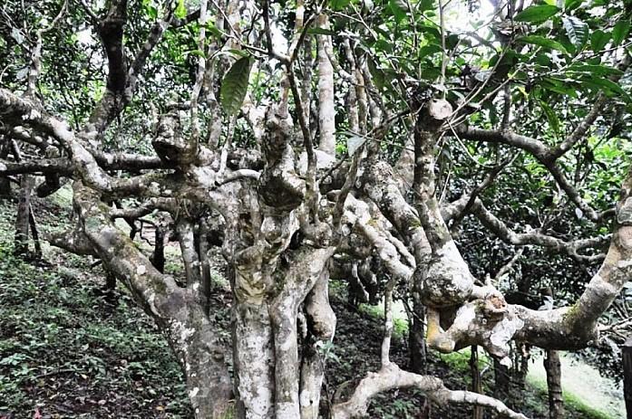 Чайное дерево! Нереально!