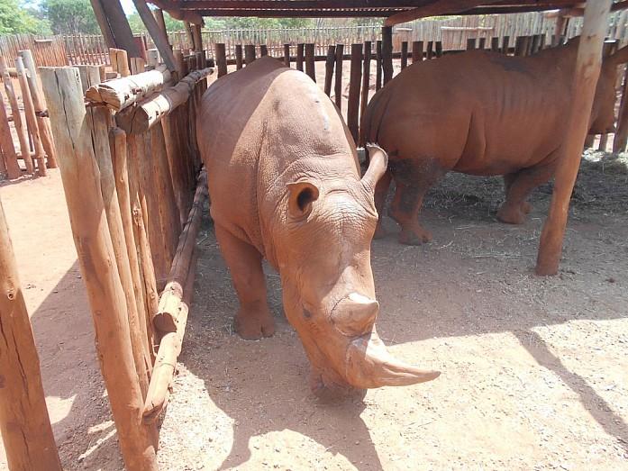 Самка и самец белого носорога. Белый носорог, как вымирающий вид, всегда содержится в загоне и охраняется вооруженными сотрудниками ZAWA от браконьеров, которые охотятся за рогом животного