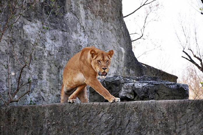 Очень голодная тигрица
