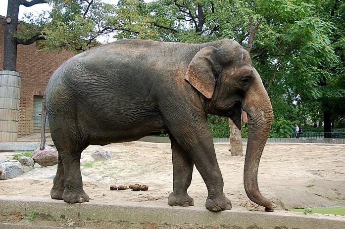 Один из множества слонов в берлинском зоопарке