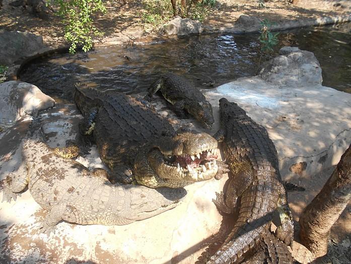 Крокодил поедает предложенное ему угощение