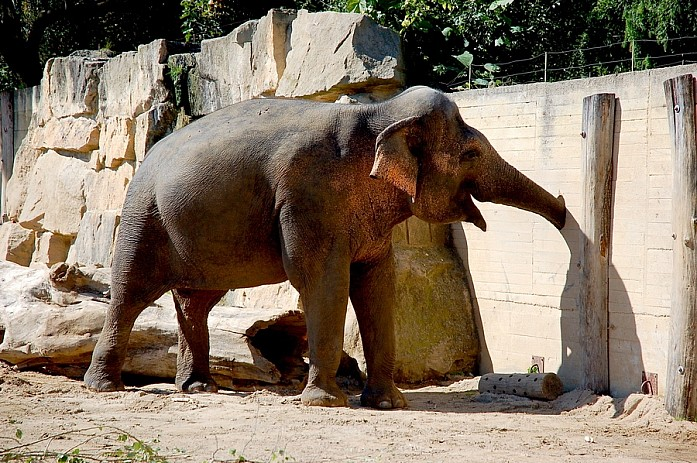 Веселый слон с собственной дыркой в заборе, откуда он таскает кусты и траву