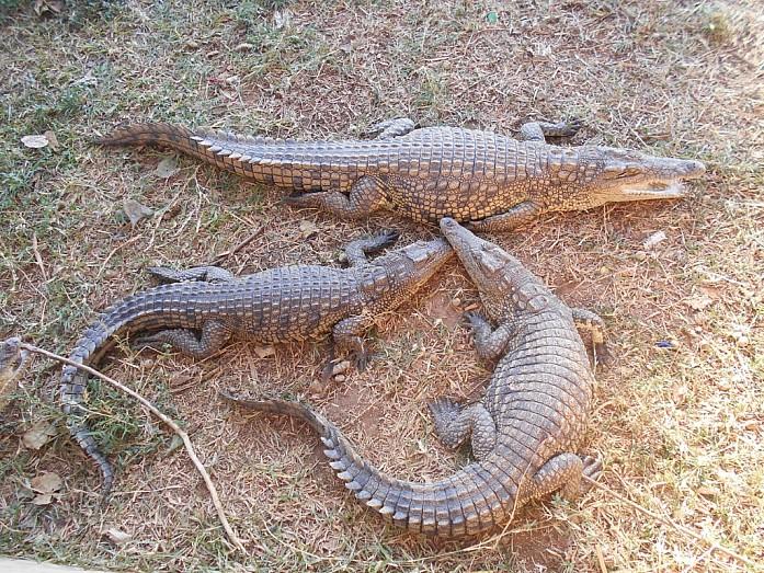 Если крокодил чем-то недоволен, то он издает звук, похожий на шипение