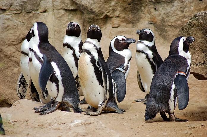 Ну и хит зоопарка - пингвины