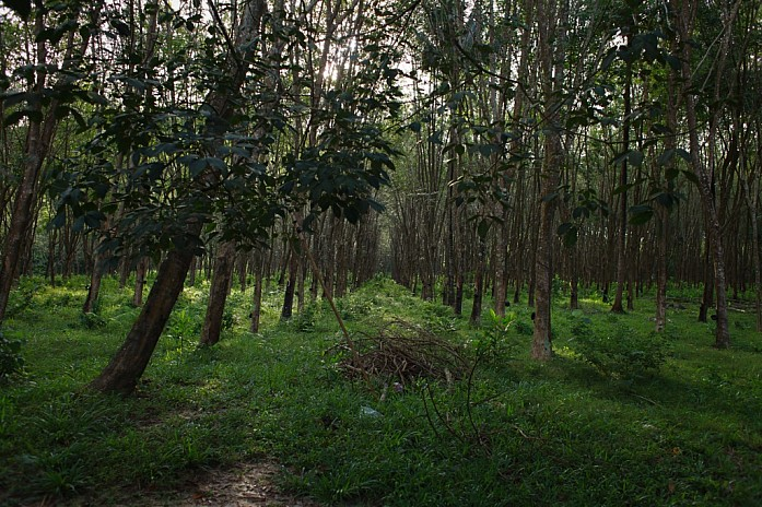 Плантация гевеи - каучукового дерева