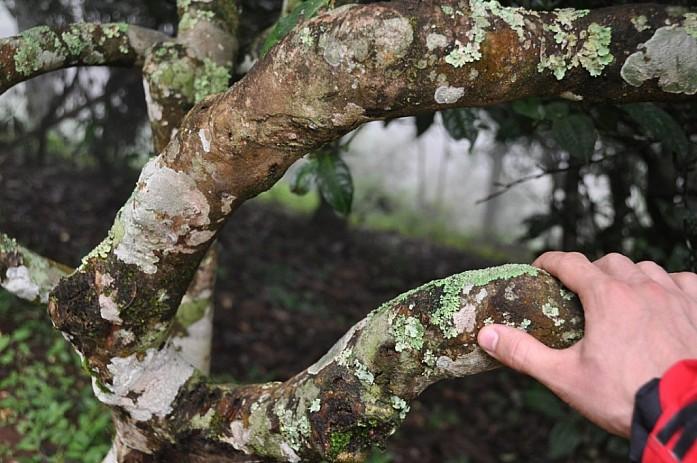 Очень старое чайное дерево.