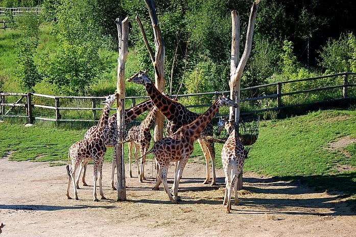 Сами жирафы