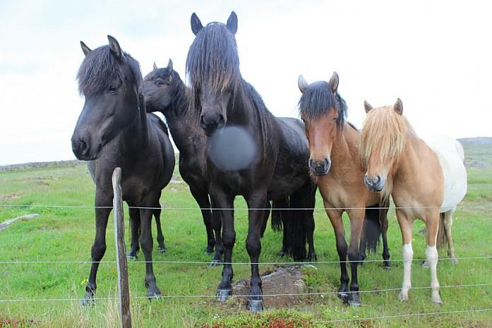 Милейшие исландские лошадки