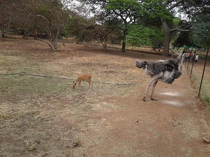 Страус в Munda Wanga Environmental Park (вход в парк стоит около $3)