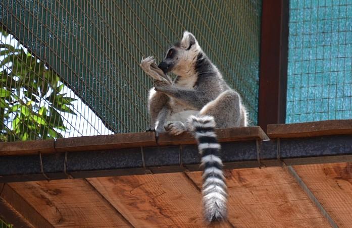 Лемур в Monkey park