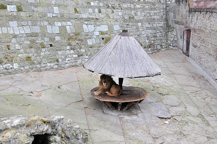 Одинокий лев, прячущийся от дождя под грибком