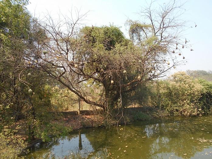 Птицы семейства ткачиковых вьют висящие гнезда из травы
