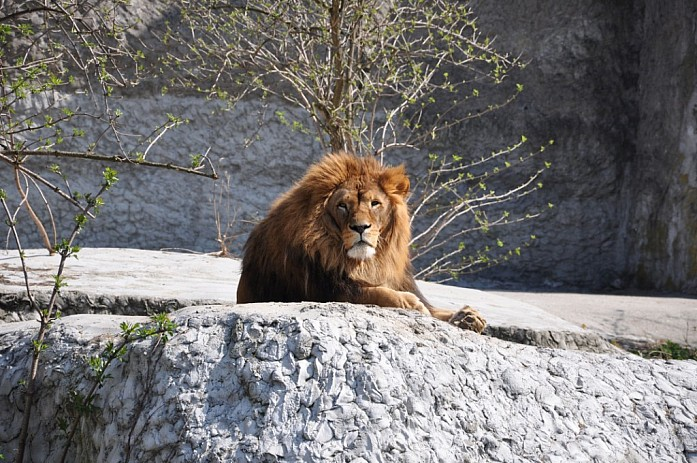 Довольный лев
