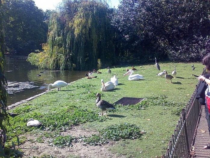 Разнообразие птиц в центре города, в парке около Букингемского дворца.